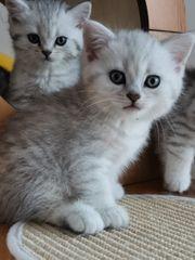wunderschöne Kitten Babies BKH Britisch