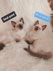 Siam- Thai Kätzchen Blue Point