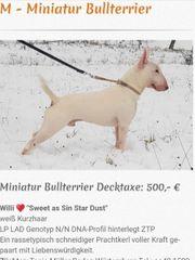 Miniatur Bullterrier Deckrüde