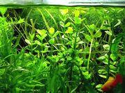 Großes Fettblatt Aquariumpflanzen Versand