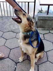 Rokfor- braver Junghund - Schäferhund Mix -