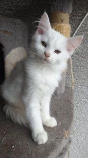 Schönes Maine Coon Kitten Mädchen