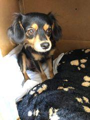 Chihuahua Mischlingshündin