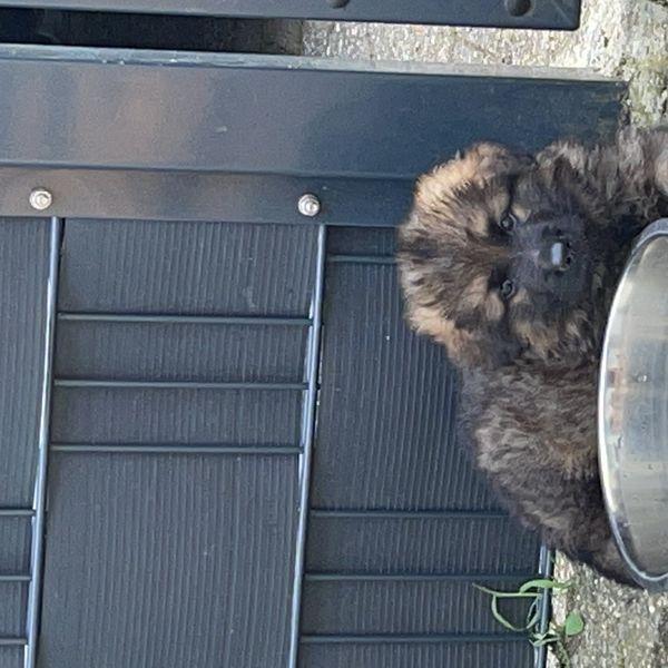 Schäferhund Welpen Langstockhaar