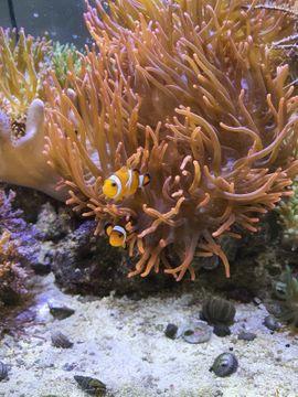 Nano Meerwasserbecken mit Technik und Fische,Korallen