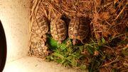 NZ grieschicher Landschildkröten