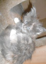 1 Reinrassige Maine Coon Kitten
