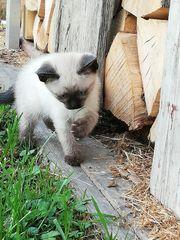 Kätzchen Siam Thai zu verkaufen