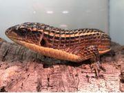Sudan Schildechsen Pärchen Broadleysaurus Gerrhosaurus
