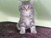 Wunderschöne Sibirische Waldkatzen Kitten Kater