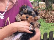 Yorkshire Terrier of York