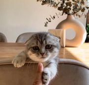 Scottish Fold Wundersüße Babykatze