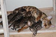 6 Reinrassige Bengal Kitten