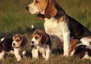Beagle Welpen reinrassig und abgabebereit