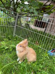 verkaufe Kaninchen