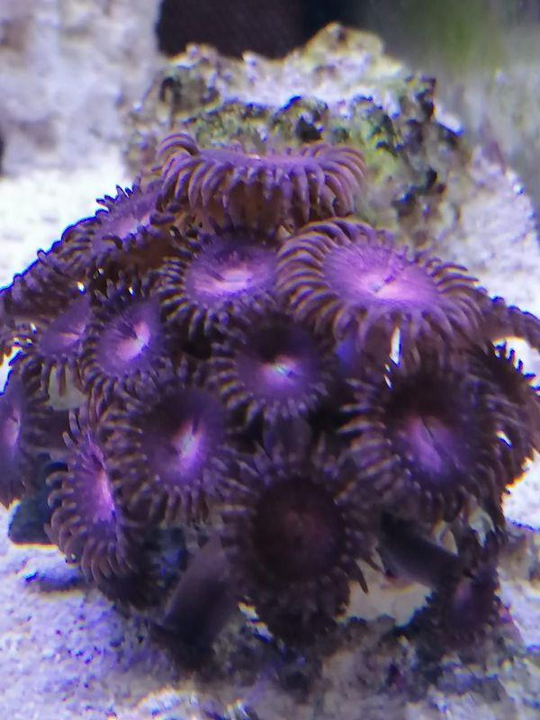 Korallenableger Zoanthus / Weiche