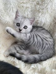 Silver- u Choco-tabby BKH Kitten