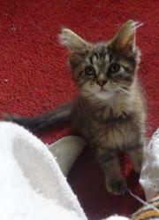 Reinrassige main coon kitten