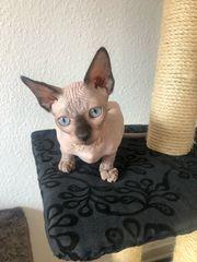 Can Sphynx Babykatzen
