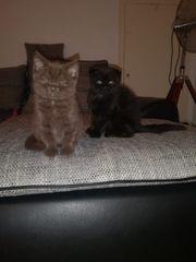 BKH Katze und Scottish Fold