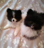 2 süße Pomeranian Zwergspitz Welpen