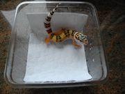 Leopardgecko Tangerine het Tremper - het