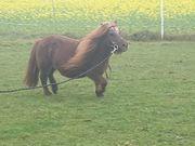 Beisteller Pony gesucht