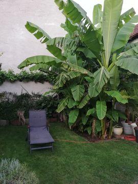 Bananen Palmen: Kleinanzeigen aus Ludwigshafen Oggersheim - Rubrik Pflanzen