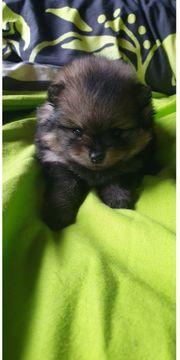 Pomeranian Zwergspitz - super Mini Reinrassig