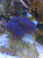 Koralle Stylophora blau M und