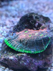 Chalice Watermelon Meerwasser Korallen