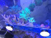 LPS SPS Meerwasser Korallen Ableger