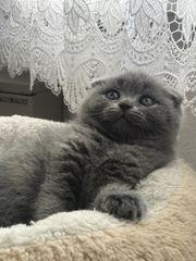 Bkh scottish mischlinge Katzenbabys in