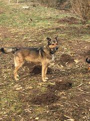 Familienhund Schäferhund Mischling