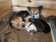 Wunderschöne Langhaar-Chihuahua Welpen zu verkaufen
