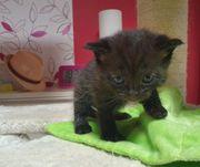 BKH Mädchen Kitten Katzenbaby Britisch