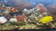 Meerwasser Kupferanamonen