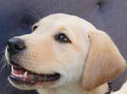 Wunderschöne Labrador Welpe Emy sucht