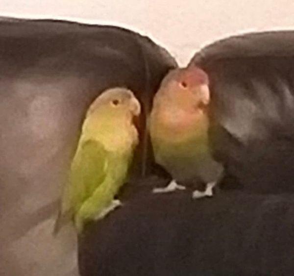 Unzertrennliche Agaporniden Paar