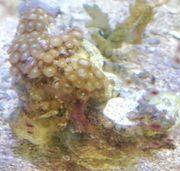 Meerwasser Zoanthus Stein