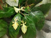 Wandelnde Blätter Phyllium phillipinicum
