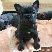 3 blaue französische Bulldoggen Welpen