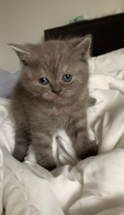 BKH Kitte Blue