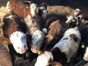 Rinder abzugeben