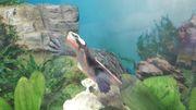 Wasserschildkröte Rotbauch-Spitzkopf 10cm
