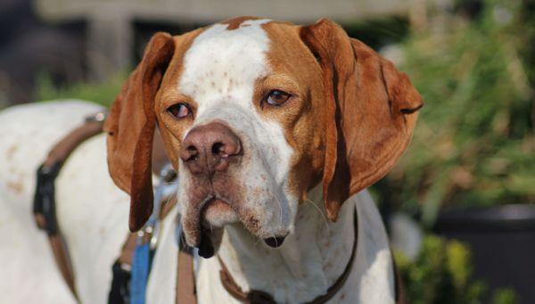 Leo ein Sonnenscheinhund