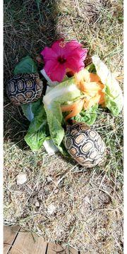 2 Pantherschildkröten zu verkaufen