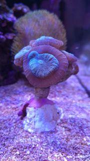 Top Meerwasser Korallen Verschiedene Ableger