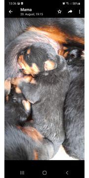 Rottweilerwelpen