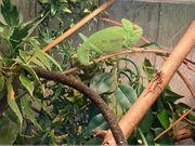 Jemen-Chamäleon Männchen von 11 2020